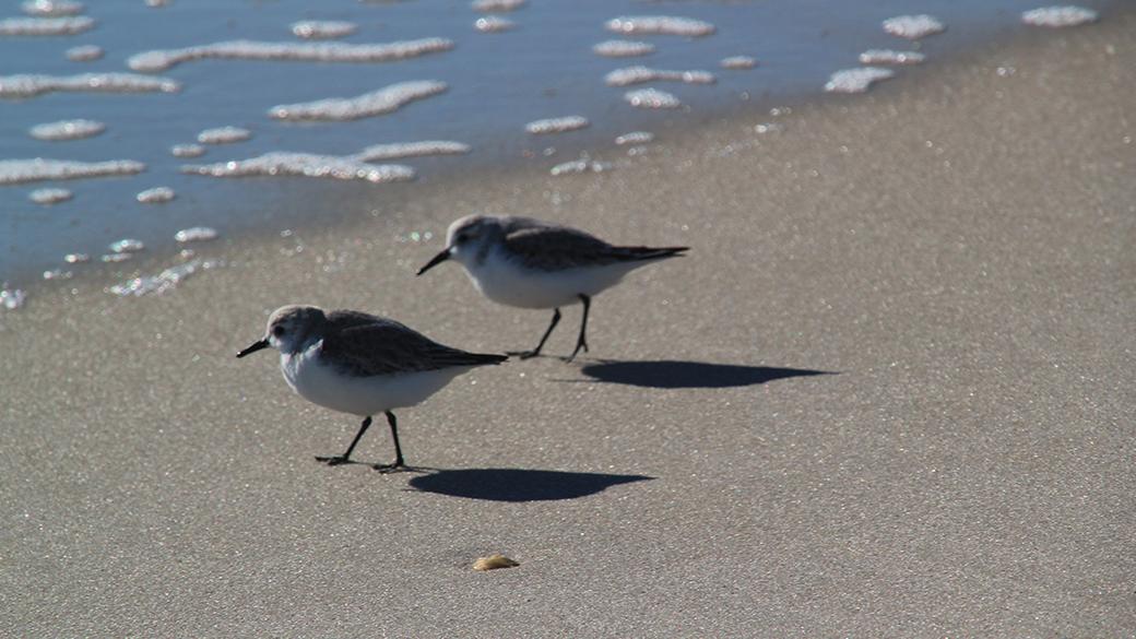 Shorebirds_Photo credit Sue Simon